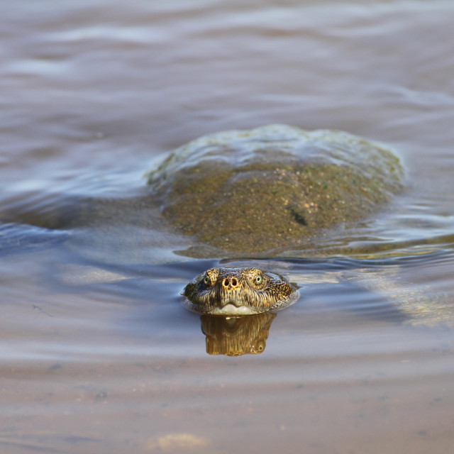 """Freshwater Turtle in Kruger National Park, South Africa"" stock image"