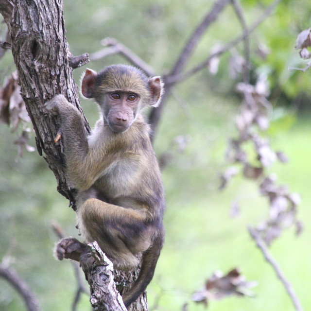 """Baby Baboon in a tree, Kruger National Park, South Africa"" stock image"