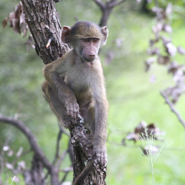 """Baby Baboon sitting in a tree, Kruger National Park, South Africa"" stock image"