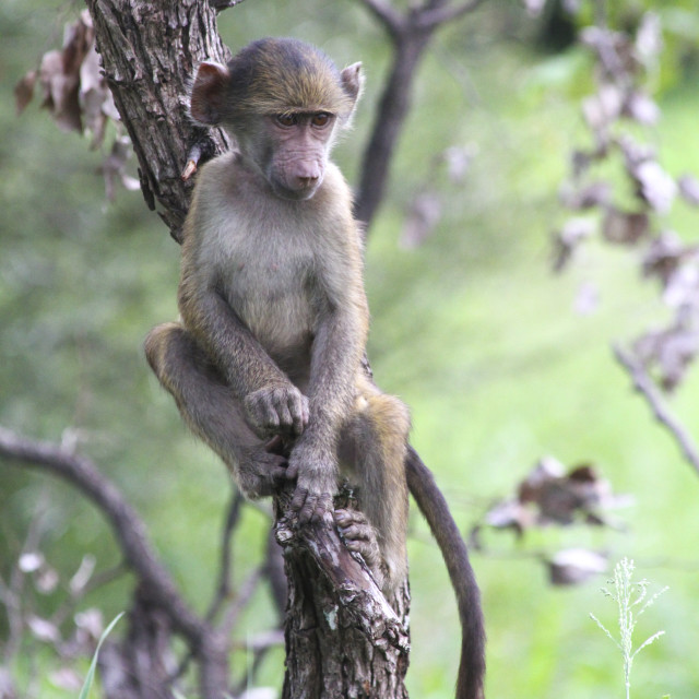 """Cute baby baboon sitting in a tree, Kruger National Park, South Africa"" stock image"