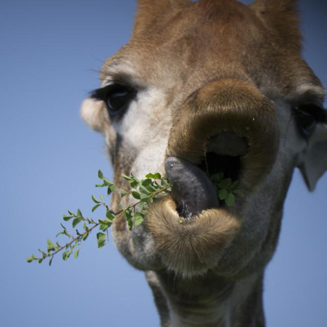 """Cute Giraffe - close-up of mouth and tongue"" stock image"