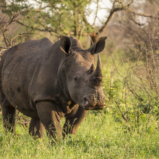 """""""White Rhino in Kruger National Park, South Africa"""" stock image"""