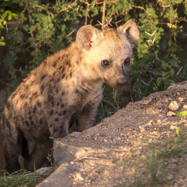 """Hyena cub emerging from den in South Africa"" stock image"