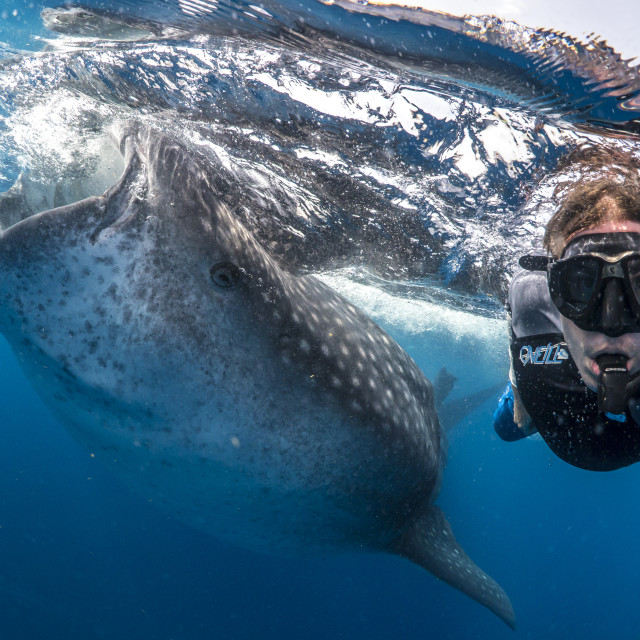 """Whale shark and swimmer off Mexico"" stock image"
