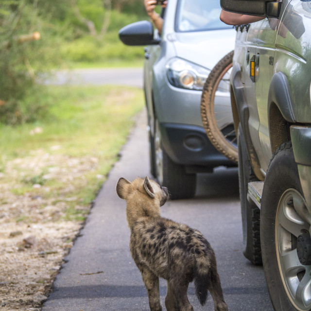 """Hyena cub inspecting cars in Kruger National Park, South Africa"" stock image"
