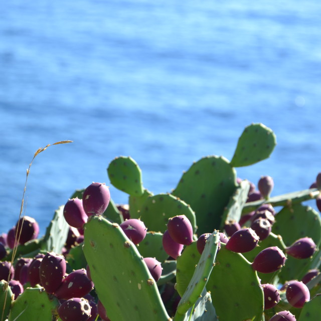 """Prickly pear in front of the sea"" stock image"