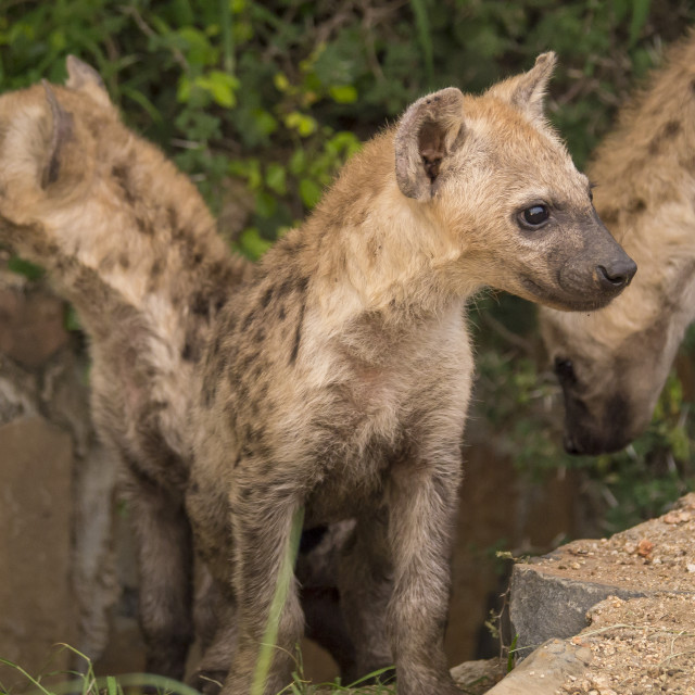 """Hyena cubs in a roadside den, South Africa"" stock image"