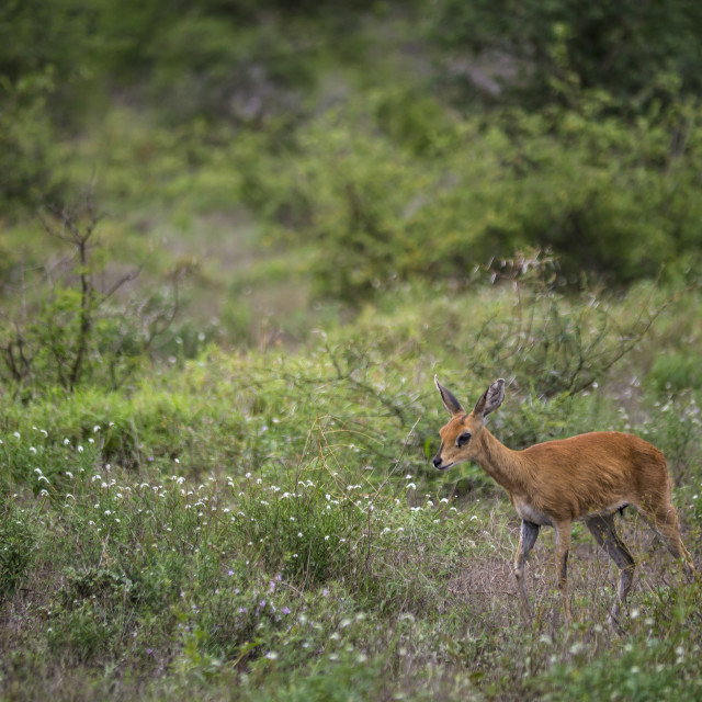 """Lone steenbok in Kruger National Park, South Africa"" stock image"