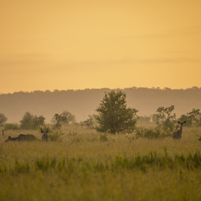 """Kudu antelope in the dawn light in South Africa"" stock image"