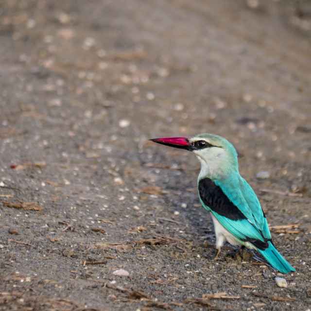 """Colourful woodland kingfisher, South Africa"" stock image"