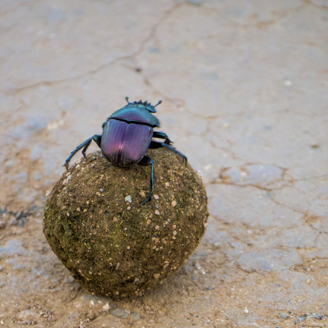 """Dung beetle rolling along in Kruger National Park, South Africa"" stock image"