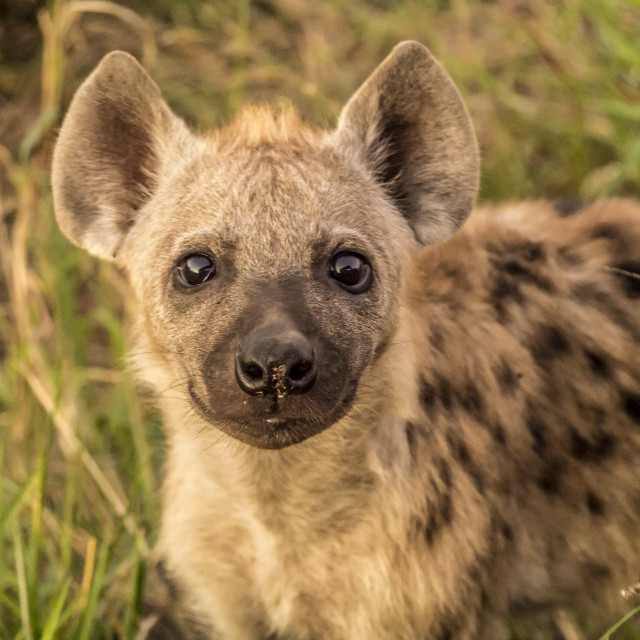 """Hyena cub in Kruger National Park"" stock image"