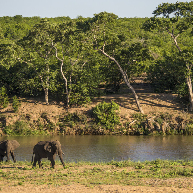 """Elephants at Letaba, Kruger National Park, South Africa"" stock image"