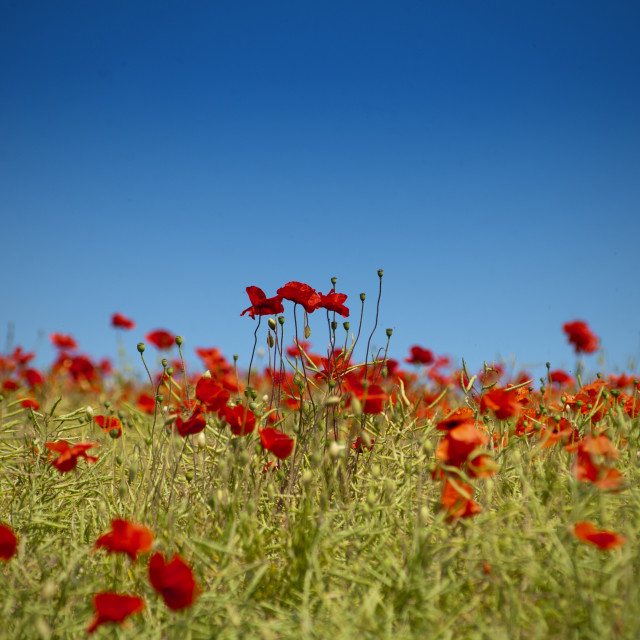"""""""Field of poppies"""" stock image"""