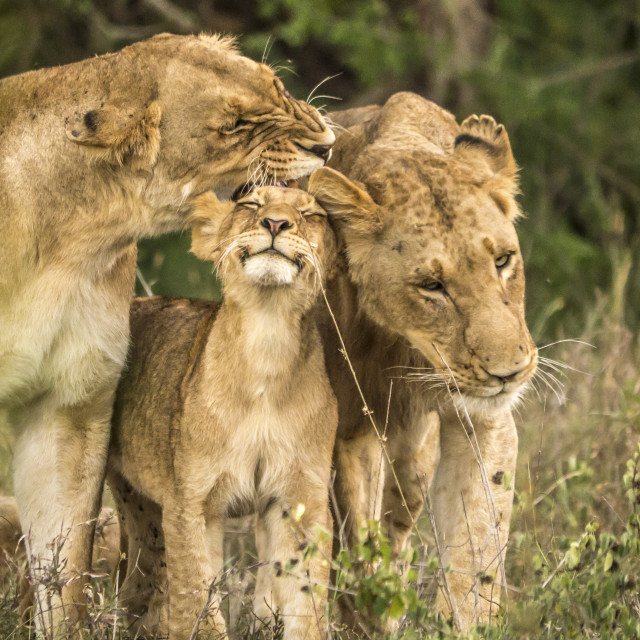 """""""Happy lion cub in Kruger National Park, South Africa"""" stock image"""
