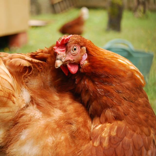 """""""Chicken run"""" stock image"""