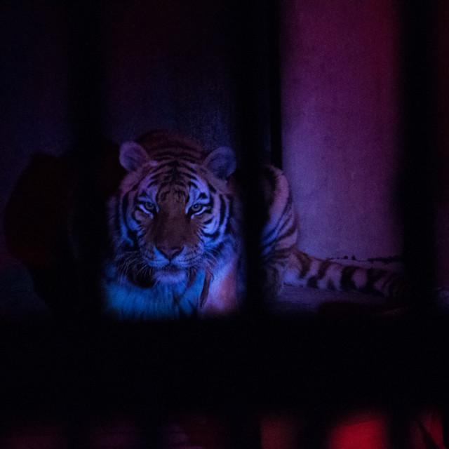 """Bengal Tiger"" stock image"
