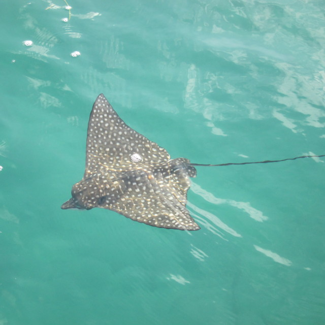 """Spotted Eagle Ray"" stock image"