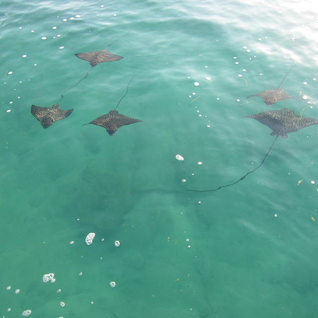 """School of rays"" stock image"