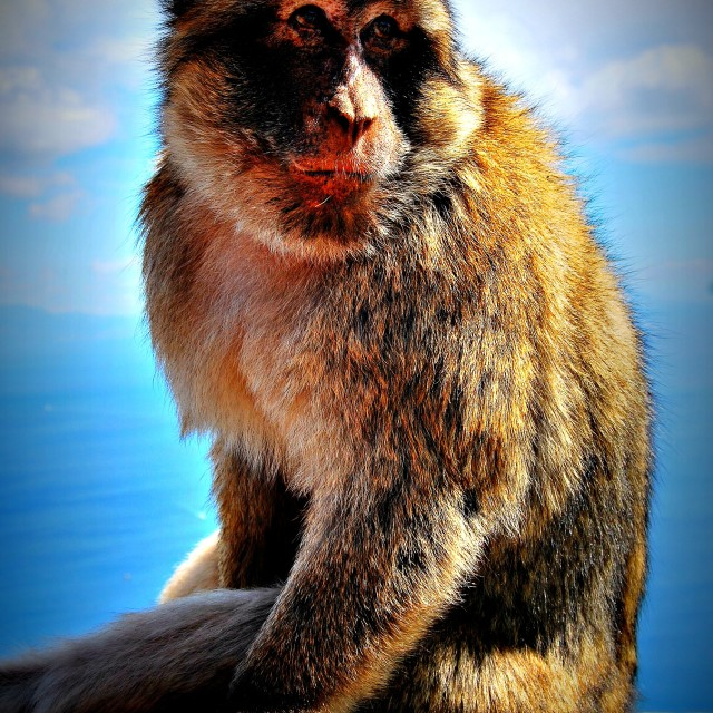 """Native monkey at the rock of Gibraltar"" stock image"