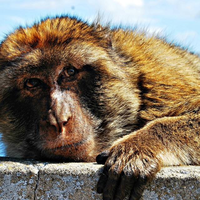 """Monkey at the rock of Gibraltar"" stock image"