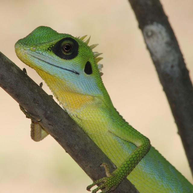 """Green lizard native to Malaysia"" stock image"