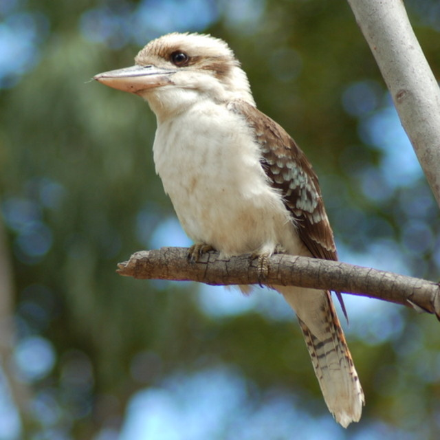 """Laughing Kookaburra"" stock image"