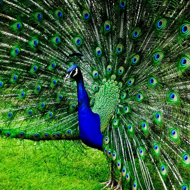 """Peacock in all his glory."" stock image"