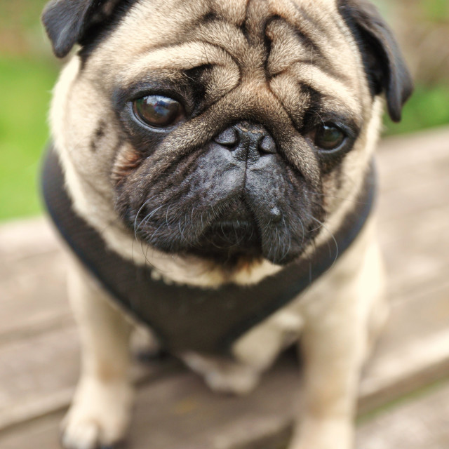 """Doug The Pug"" stock image"