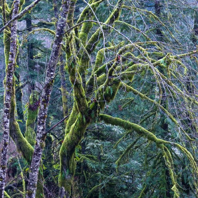 """Temperate Rainforest tree moss"" stock image"