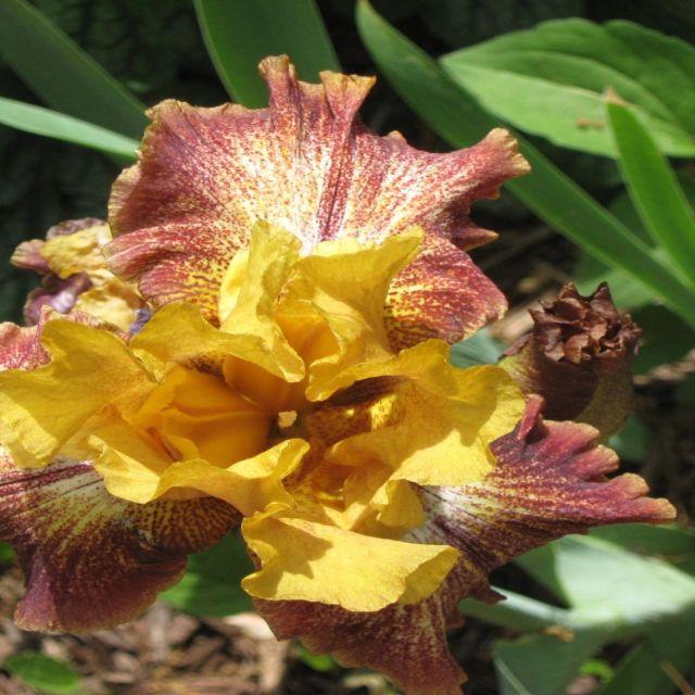 """""""Yellow and Maroon Iris"""" stock image"""