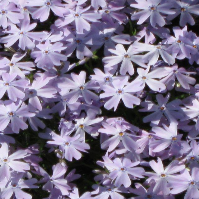 """Lavender Daisy?"" stock image"