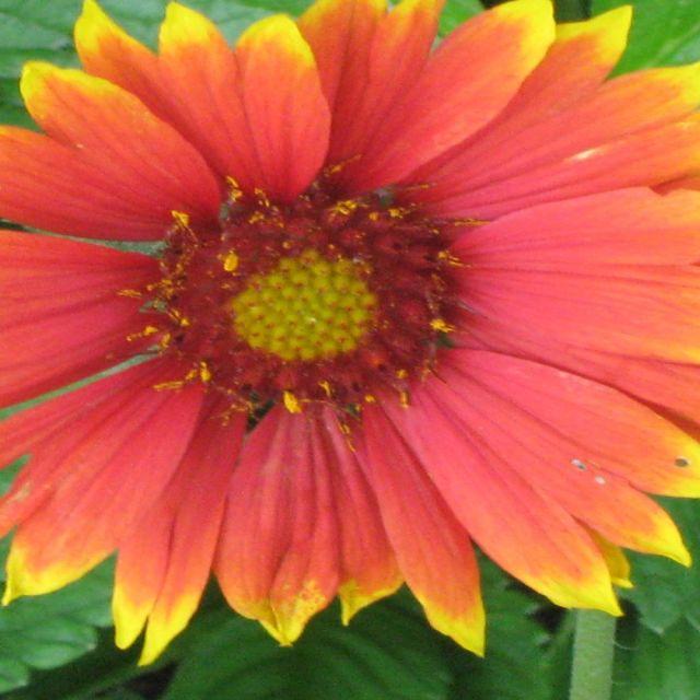 """yellow/ orange/ red daisy"" stock image"
