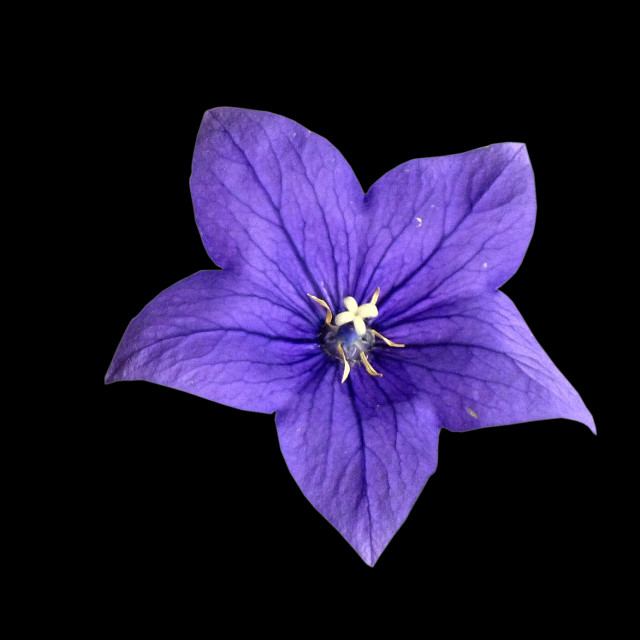 """Fine art blue flower"" stock image"
