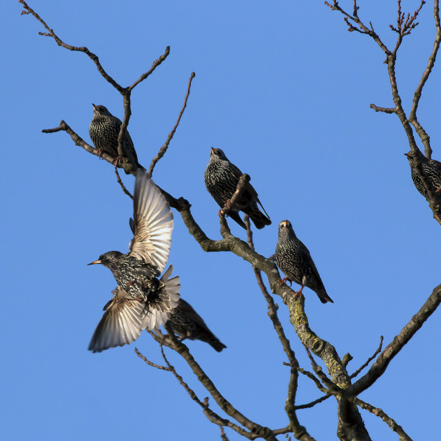 """Starlings gathering."" stock image"