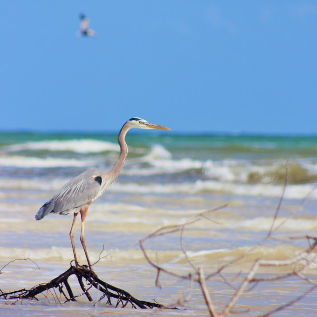 """""""Heron by the Sea"""" stock image"""
