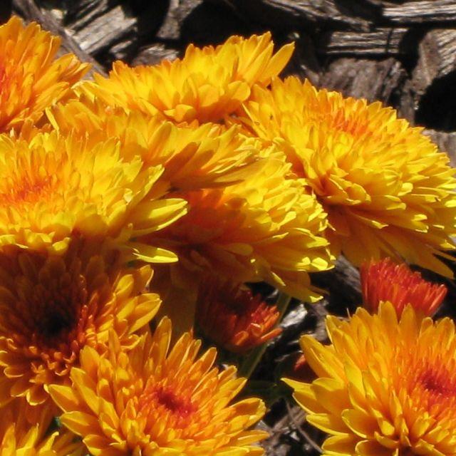 """Yellow/ orange flowers"" stock image"