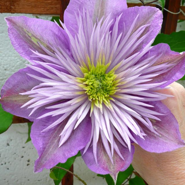 """""""Clematis, my garden"""" stock image"""