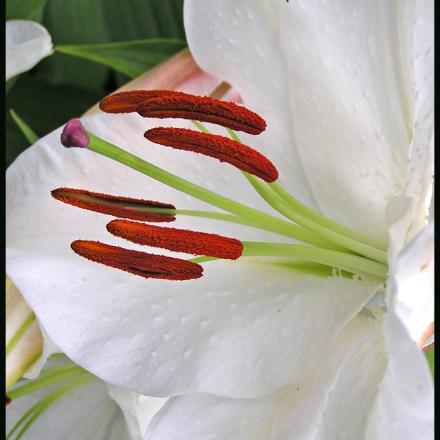 """""""Lily, Farmleigh Garden, Dublin"""" stock image"""