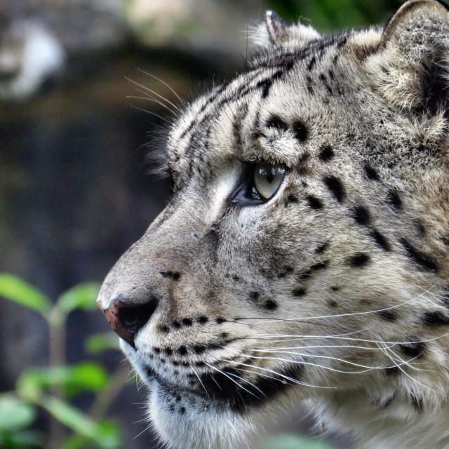 """Snow leopard face"" stock image"