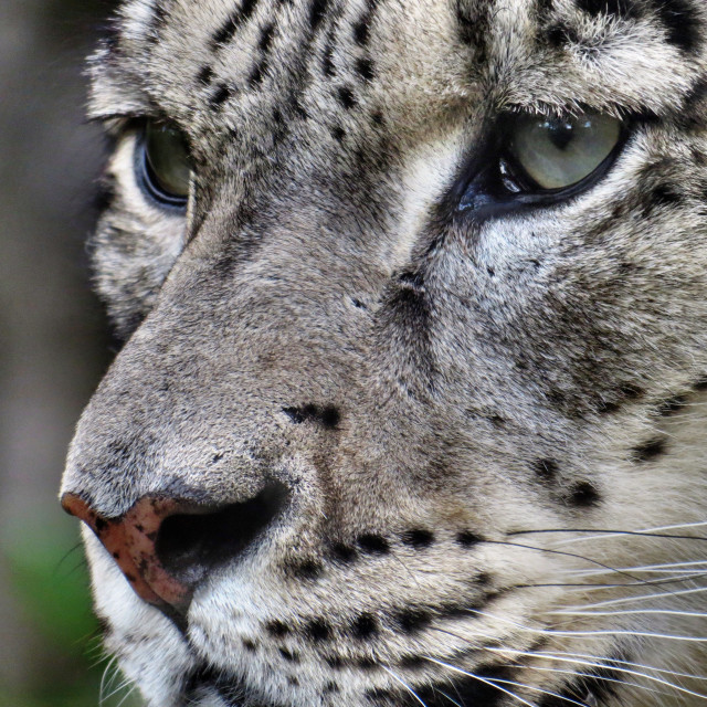 """Snow leopard close up"" stock image"