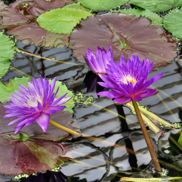 """Water lilies"" stock image"
