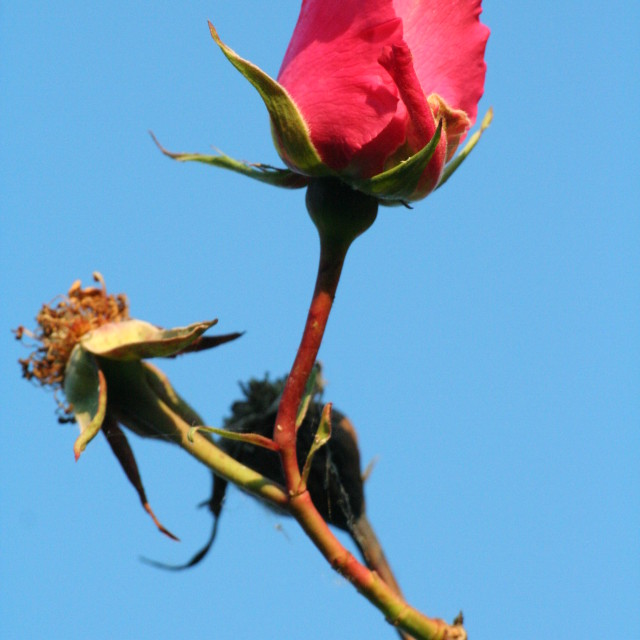 """Rose in the sky"" stock image"