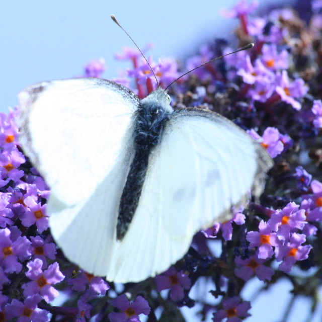 """White butterfly"" stock image"