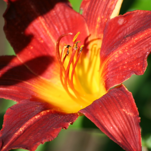 """Burnt red lilium"" stock image"