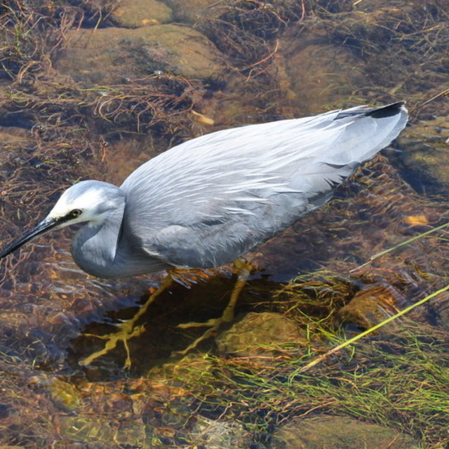 """Heron Fishing"" stock image"