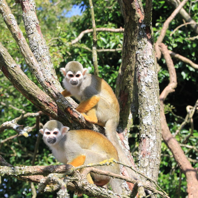 """Squirrel Monkeys"" stock image"