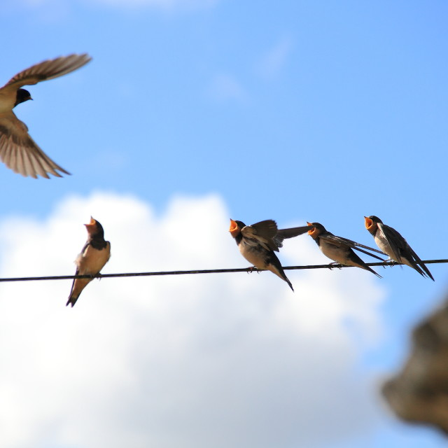 """Swallows"" stock image"