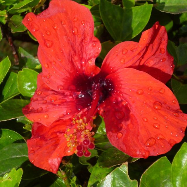 """Tunisian Hibiscus"" stock image"