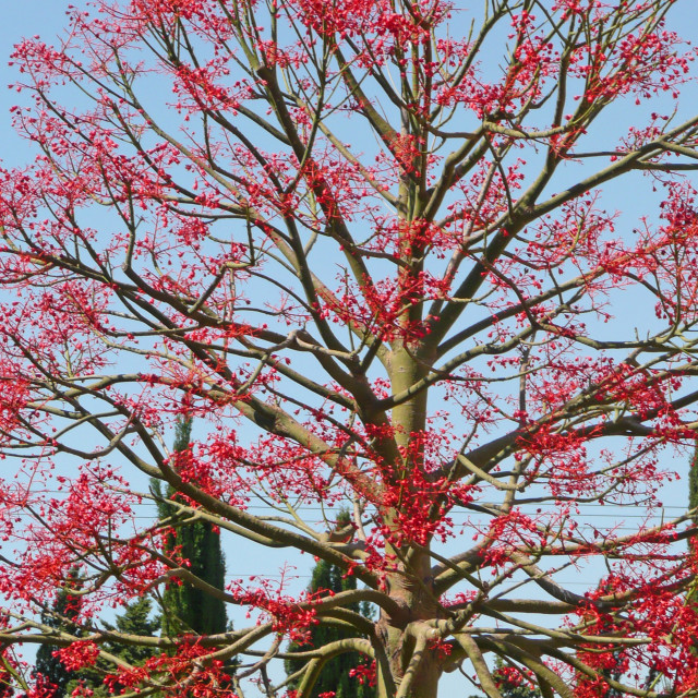 """Blossoming flame red tree, Israel"" stock image"